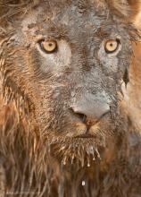 Dirty Lion by Photo © Patrick Bentley