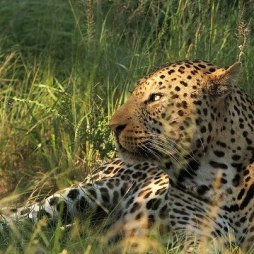 Dominant Male at North Phinda