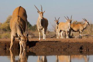 Eland at the waterhole Mashatu Botswana - Isak Pretorius Wildlife Photography