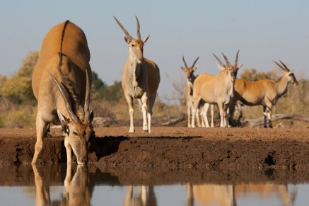 Eland at the waterhole Mashatu Botswana - Isak Pretorius Wildlife Photography