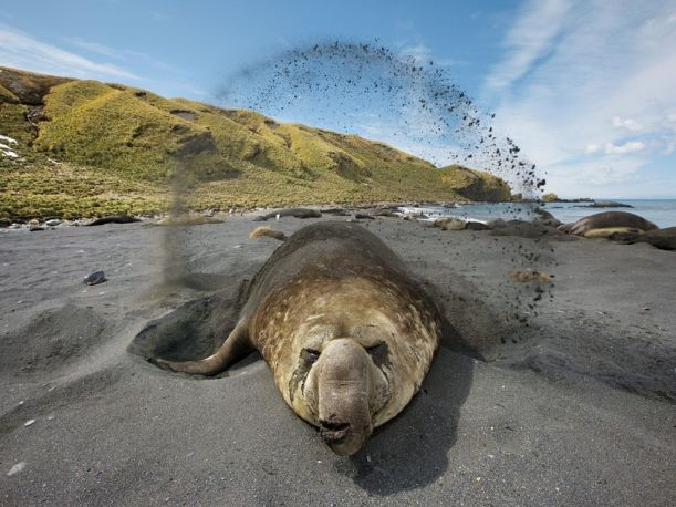 elephant-seal-sand_South Georgia