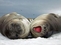 elephant-seals-eastcott_3718_990x742