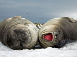 elephant-seals-eastcott_3718_990x742