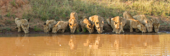 Entire pride drinking at one time - Londolozi