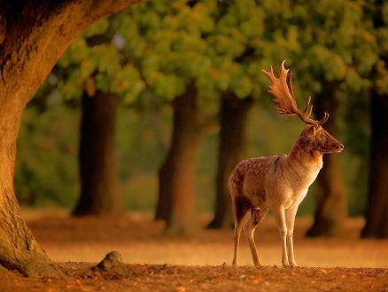 fallow-deer-sunrise_55577_990x742