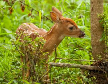 Fawn - Ken Foote Photography