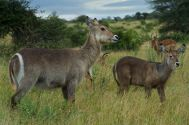 Female Waterbuck and calf