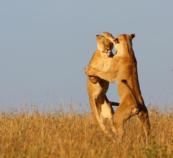 Fighting by Derek Holwill, Masai Mara - Safarious