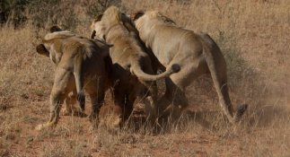 Fighting over a warthog kill