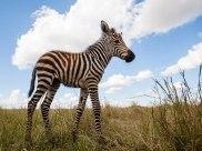 Foal - Isak Pretorius Wildlife Photography