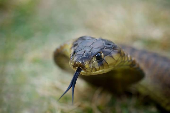 Forest Cobra