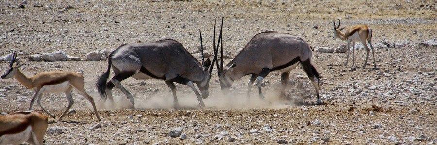 Gemsbok, Bianca Preusker - Safarious