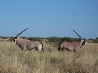 Gemsbok in Central Kalahari Game Reserve, Botawana