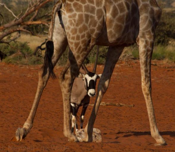 Gemsbok seen through the legs of a giraffe
