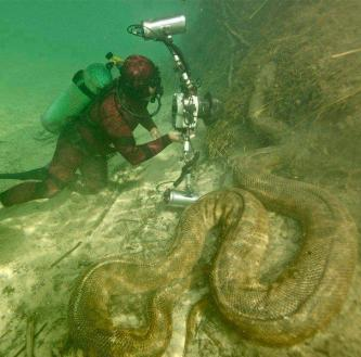 Giant anaconda in the Amazon river