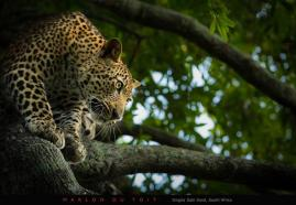 Golden eyes and a spotted coat emerge from within the dark shadows and obsessively fixate on oblivious prey below..