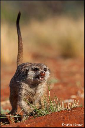 Gosa meerkat gang