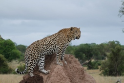 Gowrie male on termite mound - Londolozi April 2013