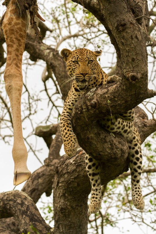 gowrie male with giraffe leg in tree
