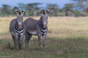 Grevy Zebra (endangered) - Michael Poliza Photographer