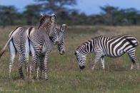 Grevy zebras and a common Zebra - Michael Poliza Photographer