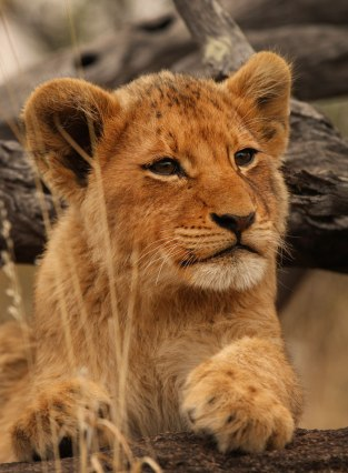Growing up at Londolozi