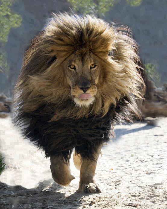 Hairy King