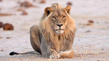 Handsome Male Lion, Nxai Pan National Park, Botswana