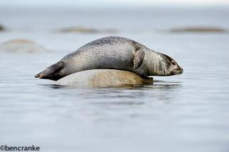 Harbour Seal - Svalbard - Copyright Ben Cranke - Wildscapes Photography Ltd.