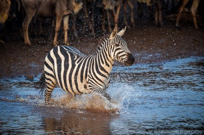 Huge herds of Wildebeest and Zebra build on the banks of the Mara River during their annual migration