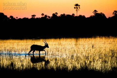 If you are a Red Lechwe (Kobus leche) the flood waters of the Okavango are your friend.