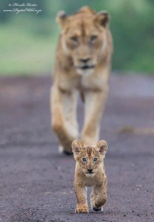 I'll lead..... by Hendri Venter - AFRICANature