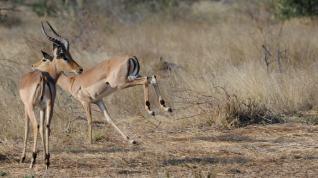 Impala by Renee Vichos - Safarious