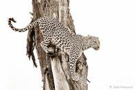 In a tree - Isak Pretorius Wildlife Photography
