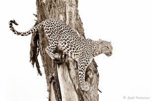 In a tree - Isak Pretorius Wildlife Photography