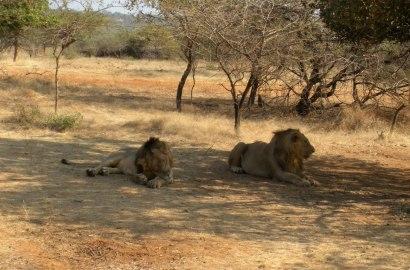 In summertime... Lion is sleeping...!!!! — at Gir national park,Gujarat.