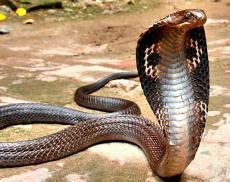 Indian cobra (Naja naja)