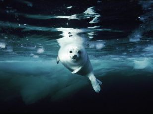 juvenile-harp-seal_Gulf of Saint Lawrence