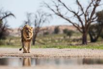 Kgalagadi Park - Isak Pretorious Wildlife Photography