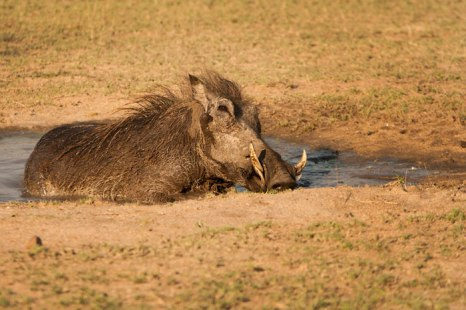 Large male wallowing in drying pan