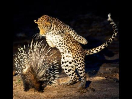 Leopard and Porcupine