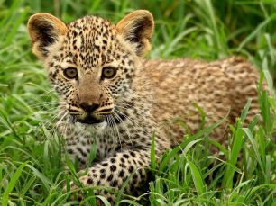 leopard-cub-tanzania_22662_990x742