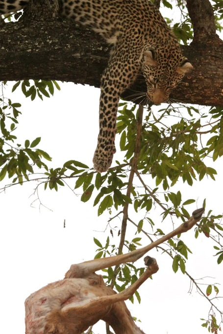 Leopard-dropping-impala