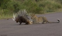 Leopard quilled by Porcupine