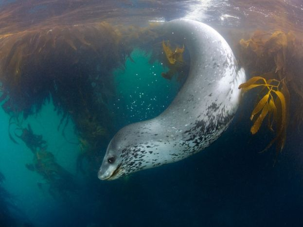 leopard-seal-swimming_12095_990x742
