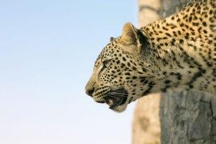 leopard_sly_ Singita