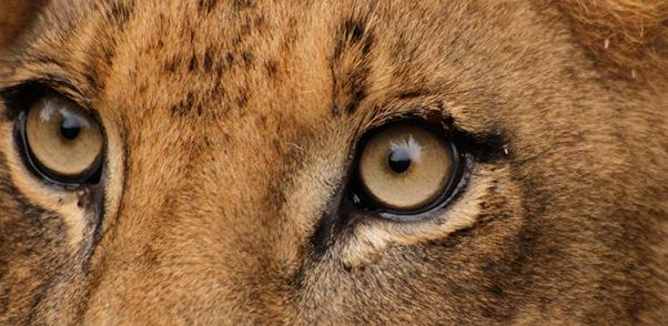 lion-eyes