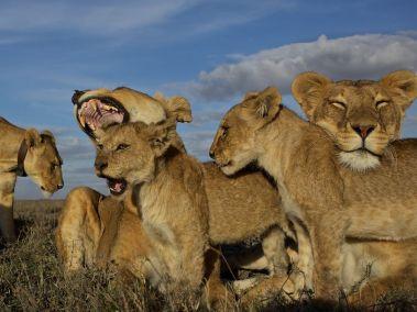 lion-pride-serengeti-nichols_48275_990x742