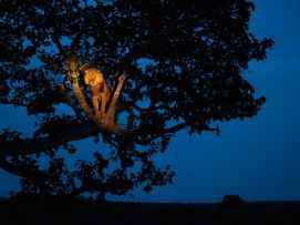 lion-tree-uganda-sartore_43240_990x742
