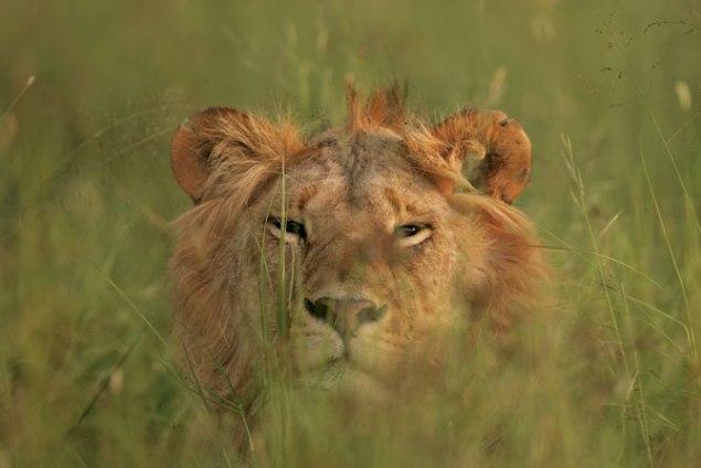 lion_grass_large Singita